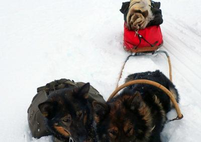 chiens pulka