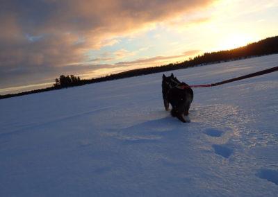 ski attelé